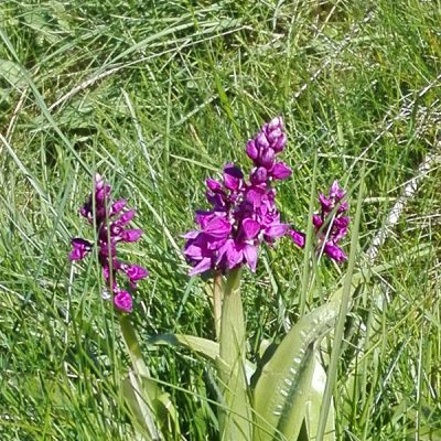 Orchidée<br>Orchidee