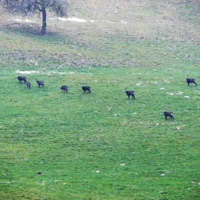 Le gibier apprécie l'endroit protégé et les rochers escarpés plongeant sur le Doubs.<br>Das geschützte Gelände und die felsigen Flanken des Doubstals werden gern vom Wild besucht.